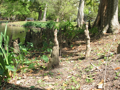 cypress knees at edge of lagoon:  Audubon Park, NOLA