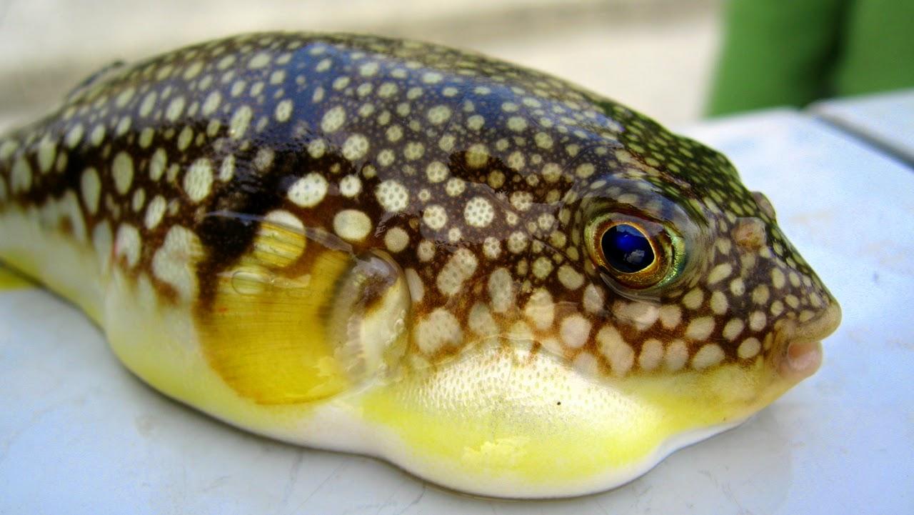 Fugu: Makanan - Makanan Lezat Yang Beracun