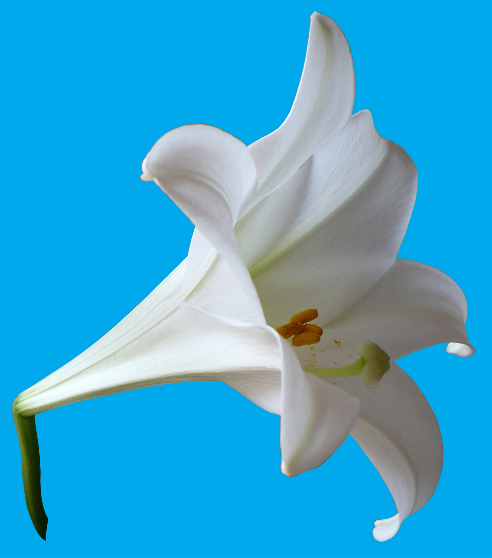 Nightblooming cards easter lilies at easter this year i bought a couple of lily plants and photographed the flowers here i show you the first 4 photo extracts that i will use in creating izmirmasajfo