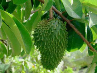 Research Soursop Leaves for Cancer Drugs