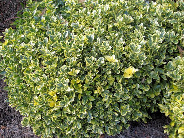 Golden Euonymus Bush w...