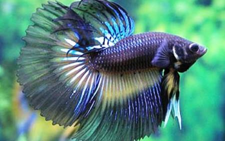 Ikan cupang atau ikan beta merupakan ikan hias yang mem