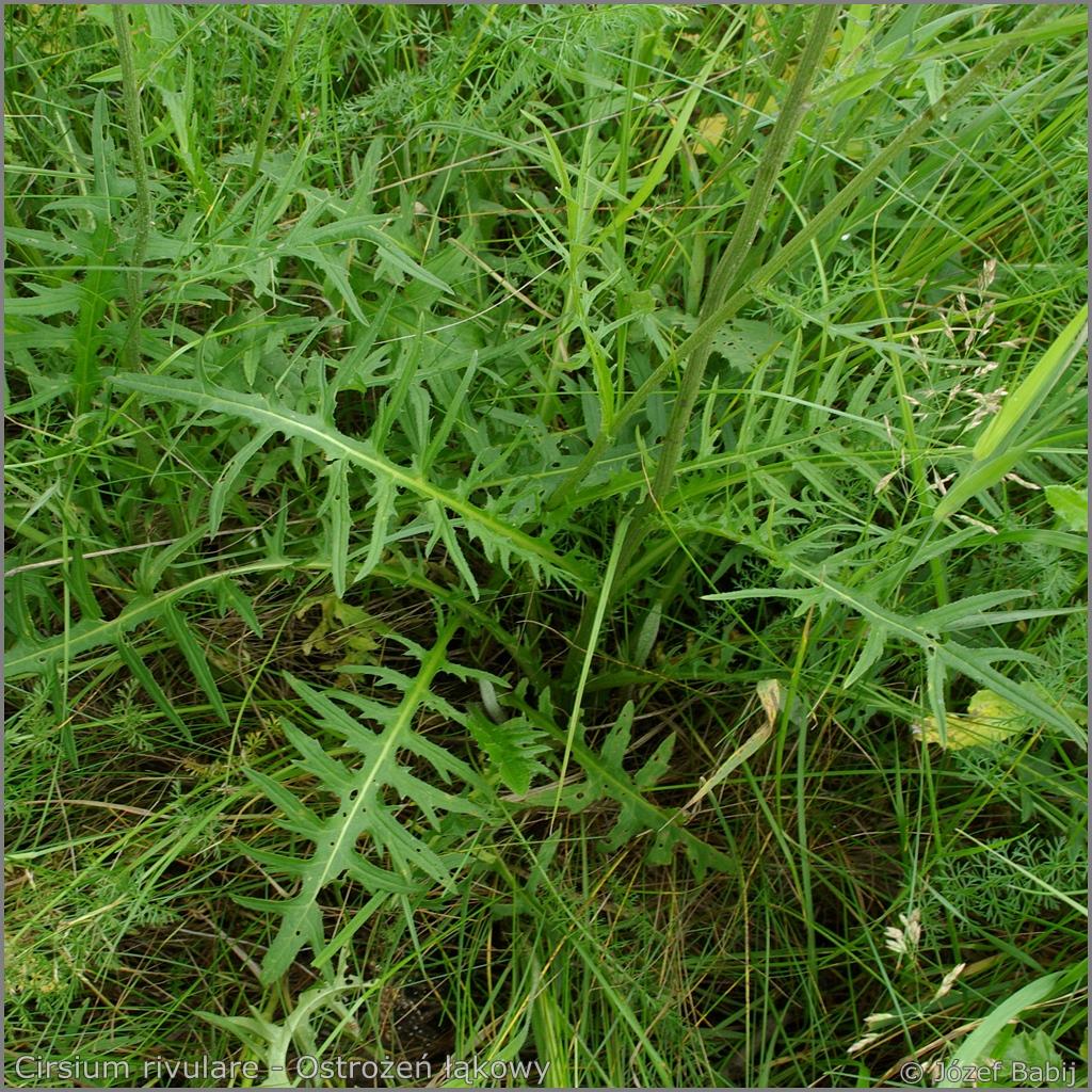 Cirsium rivulare   leawes  - Ostrożeń łąkowy  liście