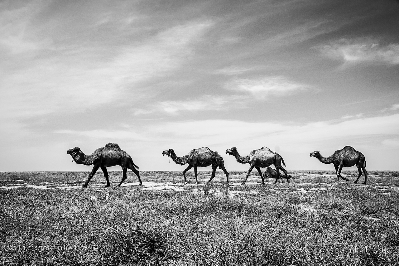 Dromedare in Kasachstan, Kamele