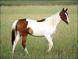 Akhal-Teke is a horse