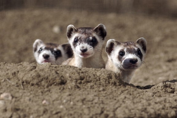 15 cutest endangered animals in the world, black footed ferrets