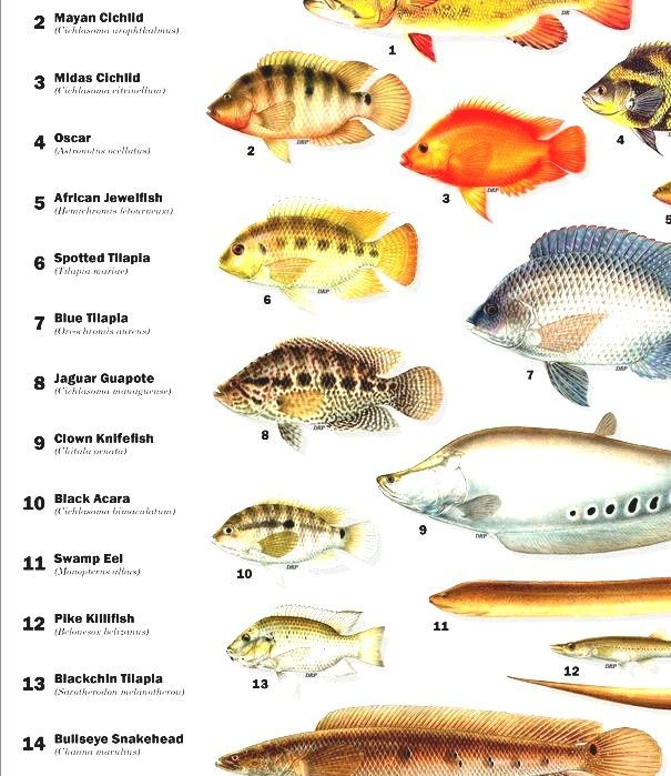 List of freshwater aquarium fish species freshwater fish for Freshwater aquarium fish list