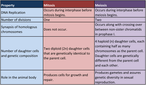 comparing mitosis and meiosis Cells divide and reproduce in two ways, mitosis and meiosis mitosis results in two identical daughter cells, whereas meiosis results in four sex cells below we.