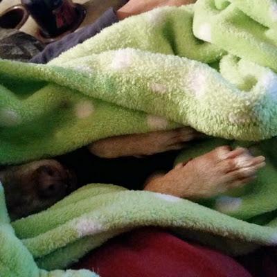 Chihuahua  asleep in a blanket