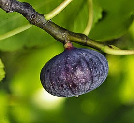 allah-beni-boyle-yaratmis-incir-fig