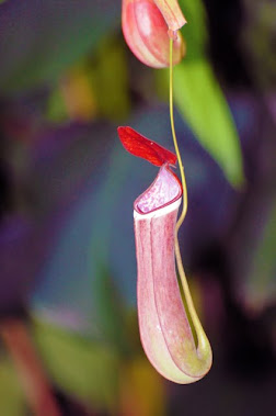 Nepenthes 1288
