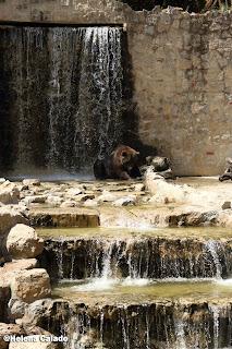fotografia do urso a refrescar-se