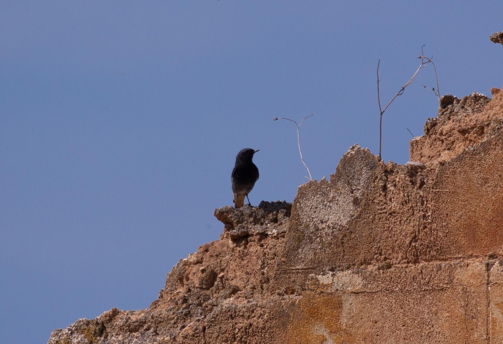 Black Redstart - Spain