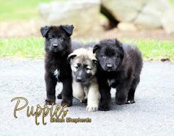 2017 Shiloh Puppy Calendar