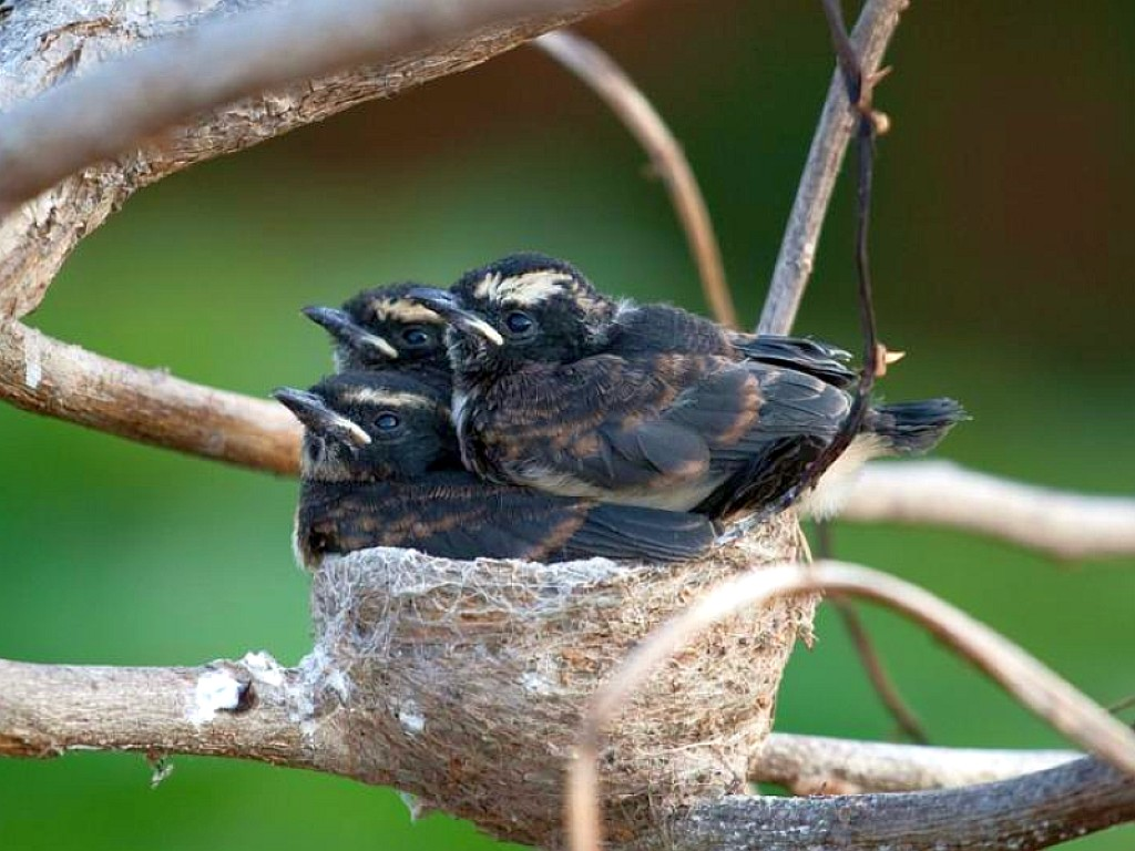 Nest Birds Wallpapers - Entertainment Only Bird Nest With Bird