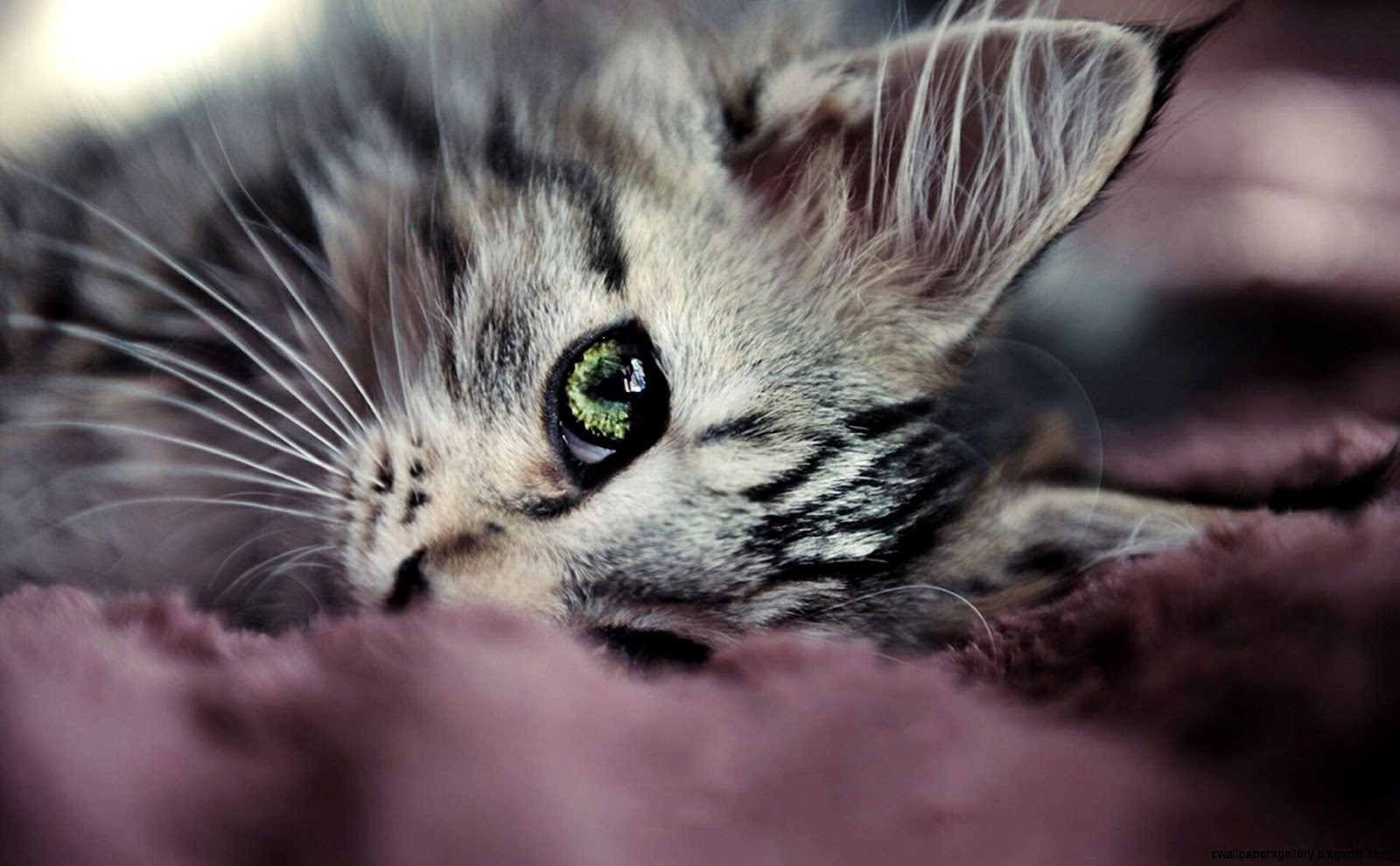 Grey Tabby Cat with Green Eyes