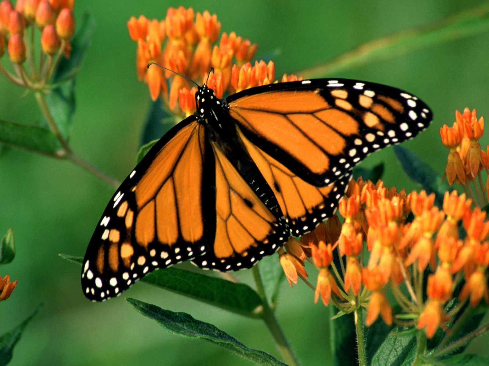 Monarch butterfly wallpaper | Amazing Wallpapers - photo#4