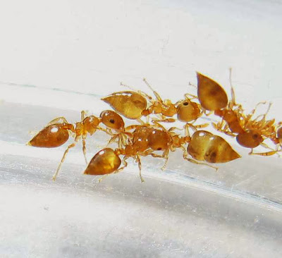 Workers of a small Crematogaster ant