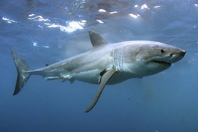 Tiburón de perfil