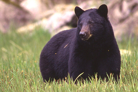 how to say black bear in different languages