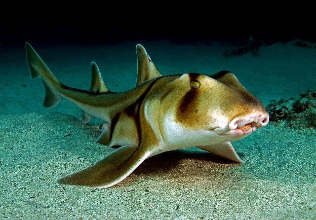 Horn Shark | Animal Wildlife