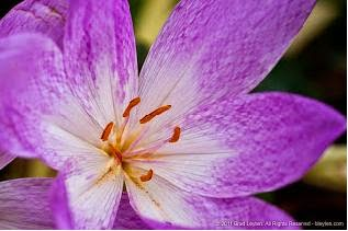 Autumn Crocus flowers Beautiful But Toxic