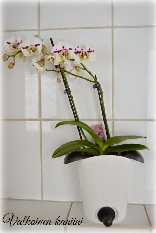 Orkidean kastelu kahvi