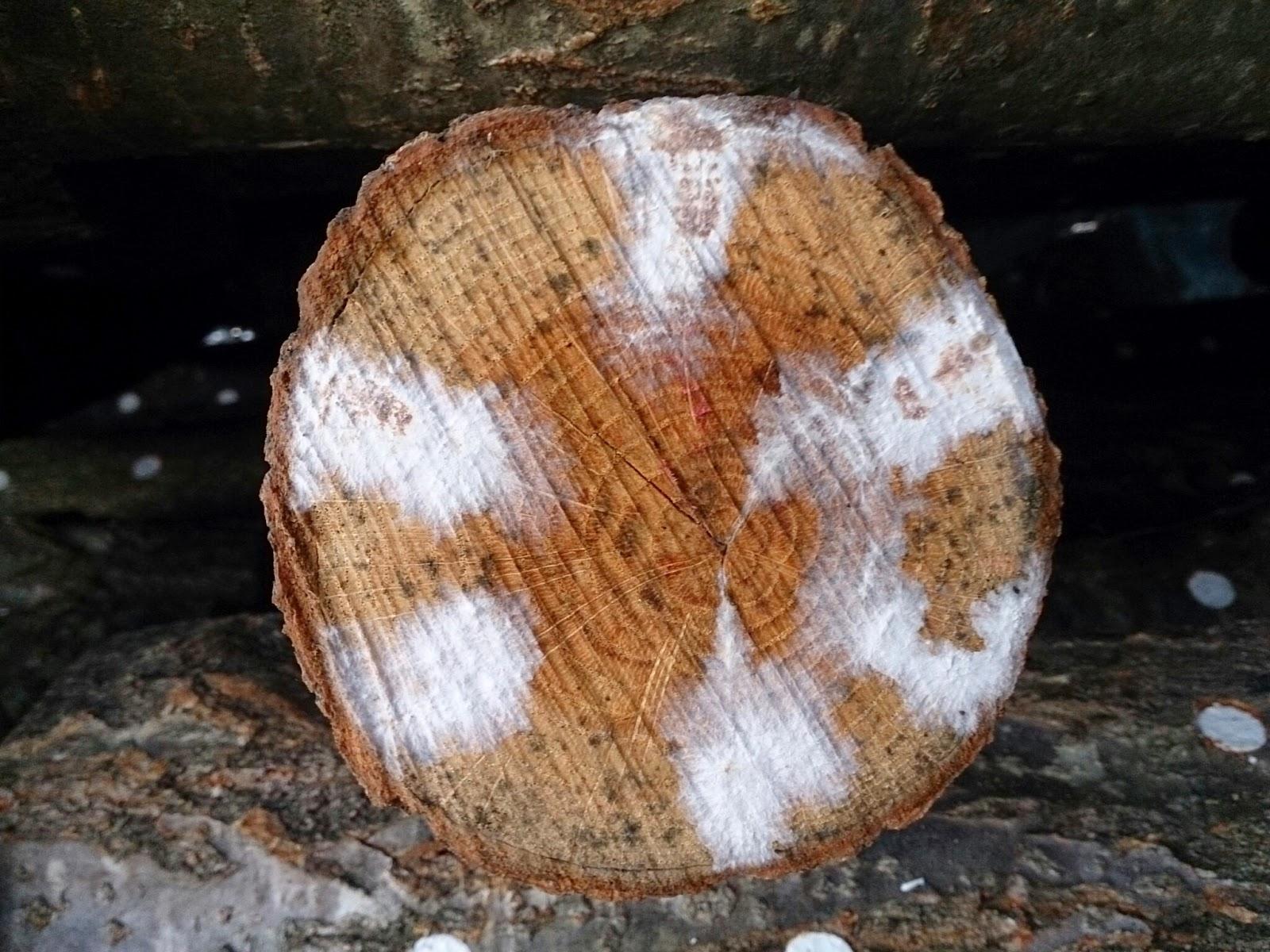 しいたけの菌糸紋