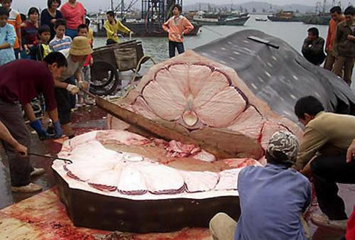 foto ikan hiu terbesar di dunia