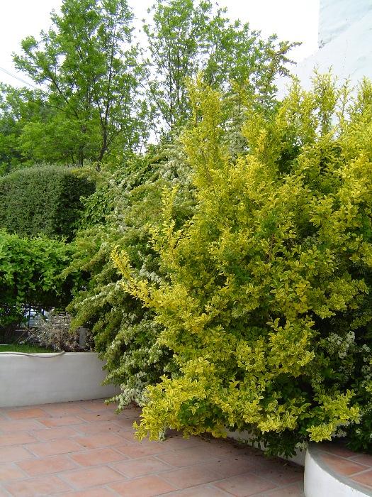 Arbustos y trepadoras en el jard n vocaci n de jardinero - Arbustos de jardin ...