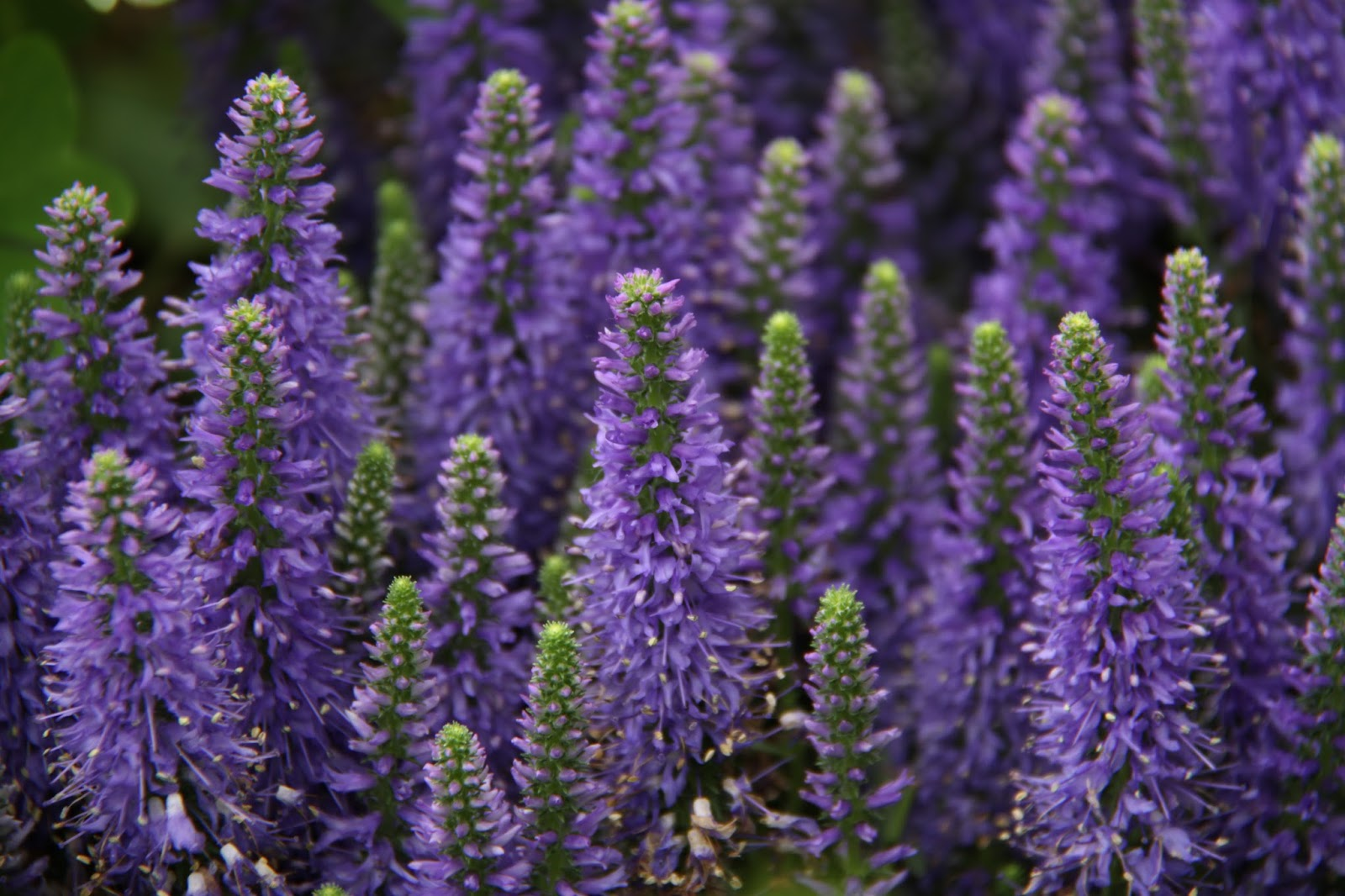Top 7 plantas medicinales que podemos plantar en casa - Cuidados planta lavanda ...