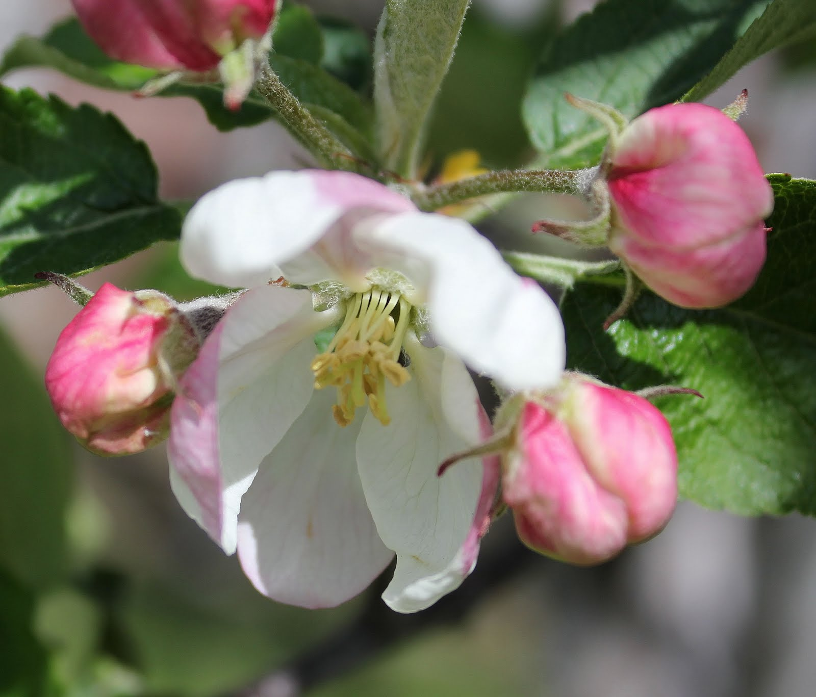 My Mountain Garden Gleanings Fruit Trees In Bloom