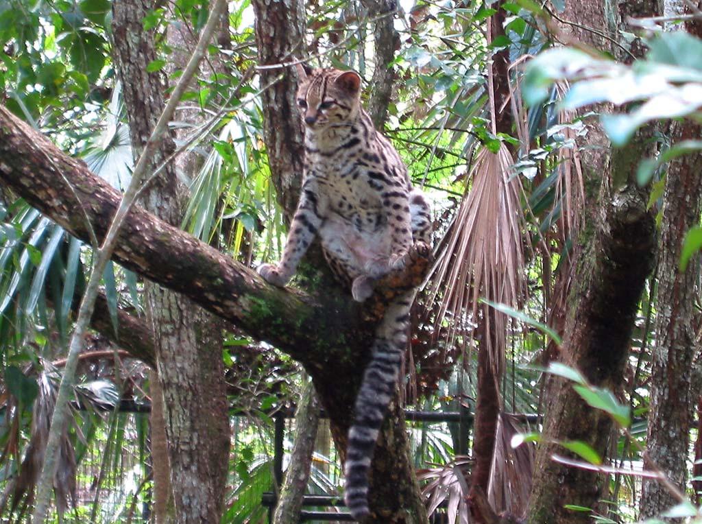 The Animal Wildlife Kucing Liar Margay Margay Wild Cat