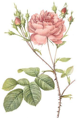 Rosa e botões