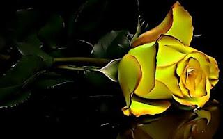 Fotos de Rosas Amarillas, parte 1