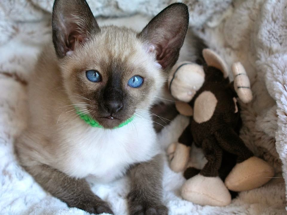 Seal Point Siamese kittens for sale from Carolina Blues Cattery