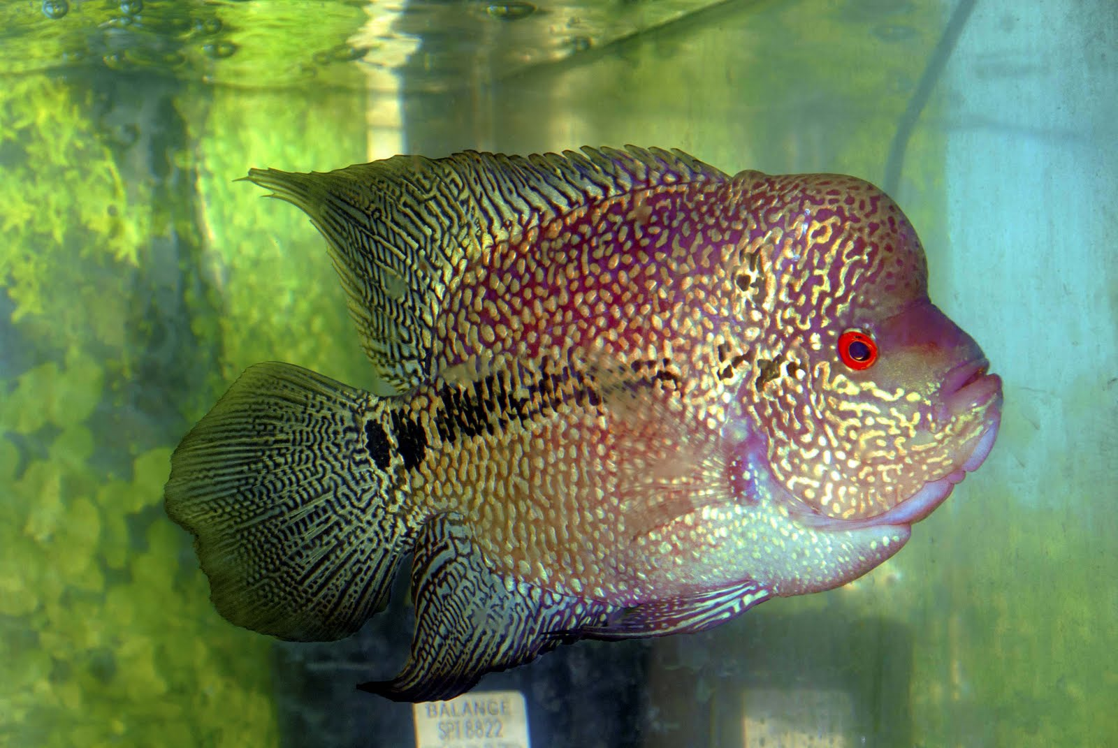 Happy Petsland And Aquatic: flowerhorn fish