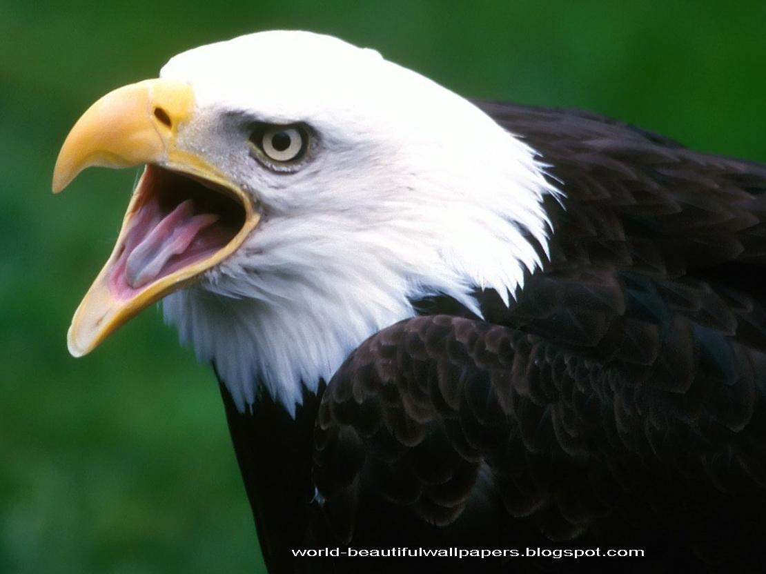 Must see   Wallpaper Horse Eagle - Eagle+Wallpaper+2  Photograph_18522.jpg