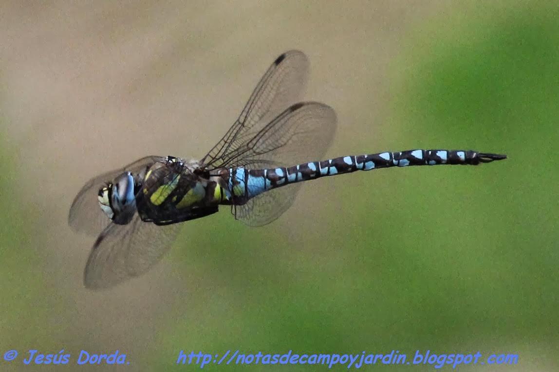 Notas de campo y jardín: El vuelo de la libélula azul