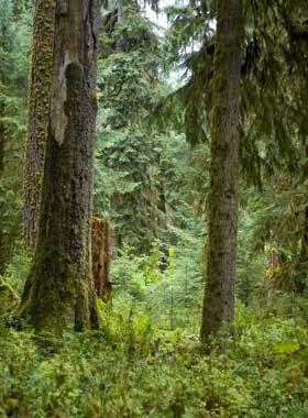 http://www.statesymbolsusa.org/Washington/treeWesternHemlock.html