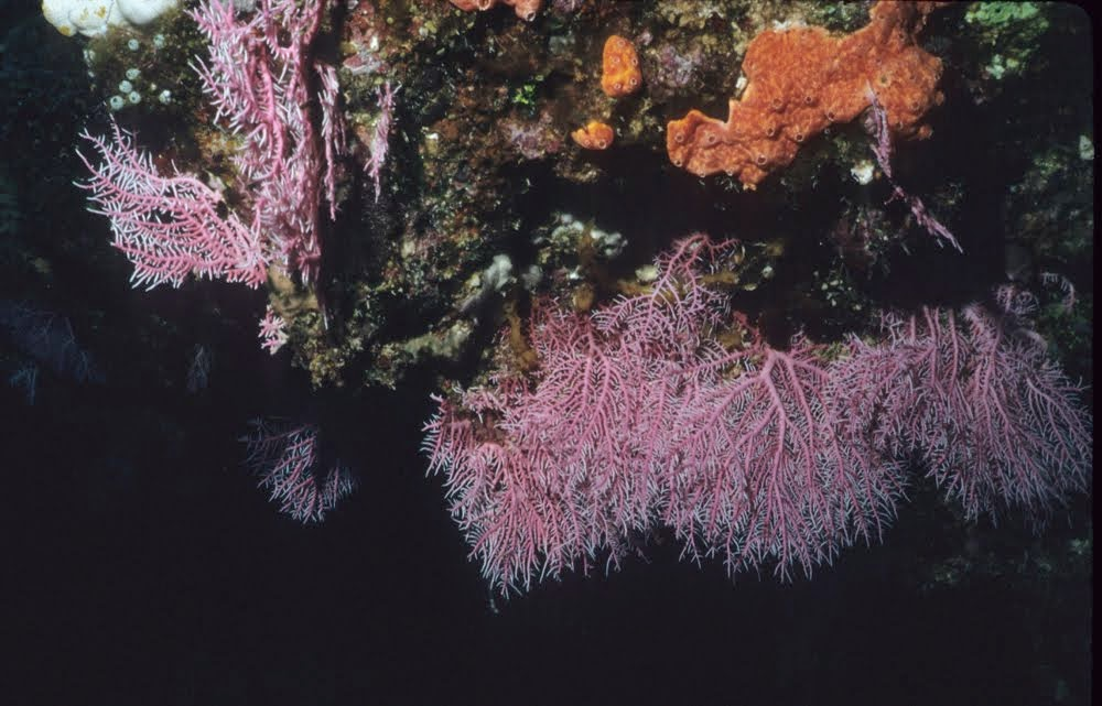 Pink Gorgonians and Ascidians