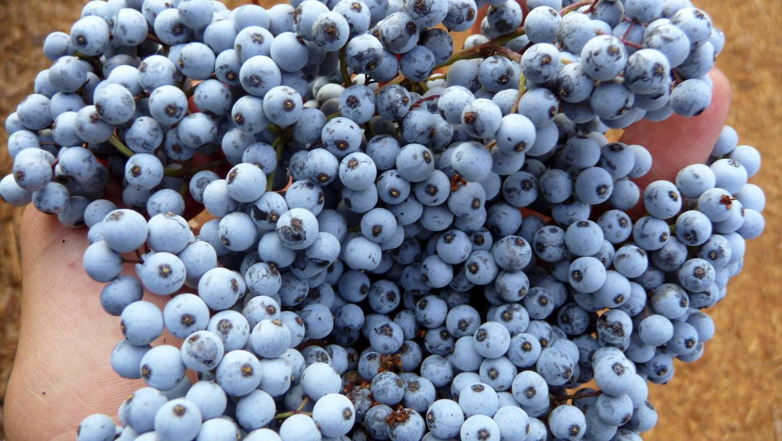Eldelberrie: Makanan - Makanan Lezat Yang Beracun