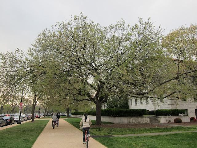 DC 街道路旁的樹好大棵!