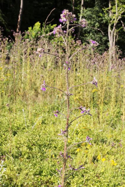 Marsh Thistle, Cirsium palustre.  Chapel Bank, 29 July 2015.