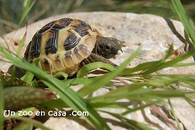 Cría de tortuga mediterránea