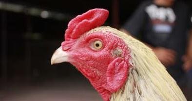 Ciri Mata Ayam Bangkok Bagus Berkarekter Juara | Ayam