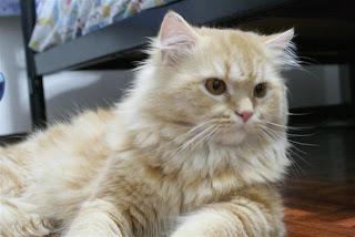 โรคลิวคีเมียของแมว