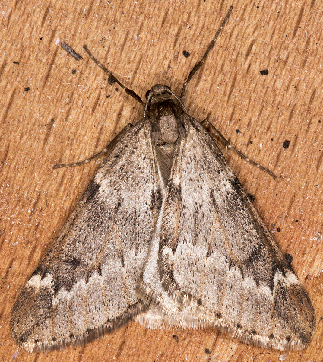 March Moth, Alsophila aescularia.   In my garden light trap on 24 March 2015