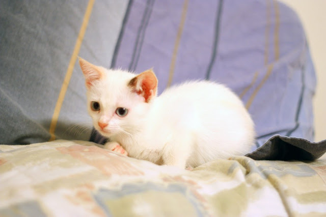 Kitten and rat are best friends, interspecies friends, rat and kitten, rat, kitten