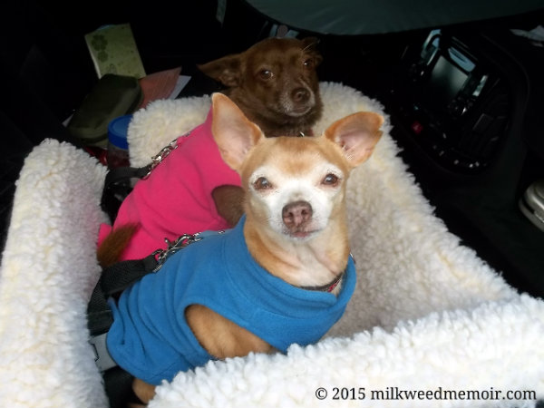 chihuahuas in pink and blue winter coats, stow, ohio